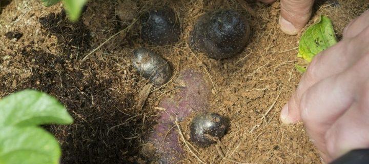 Investigadores cosechan las primeras papas chilotas sembradas en un laboratorio